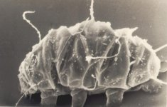 Water bear (Tardigrade)